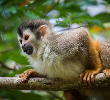 Central American squirrel monkey by Jose Calvo