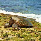 Sleeping Turtle - Oahu by CADavis