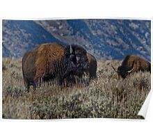 Bison Bull in the Sagebrush Poster