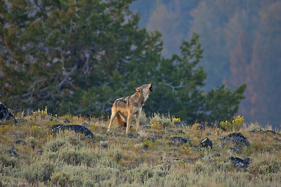 Wolf howl by John  Sperry