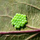 Common Green Shield Bug Eggs by Sue Robinson