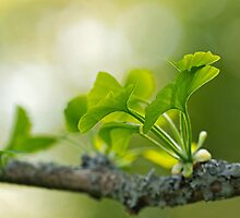 Ginkgo Biloba leaves by Sue Robinson