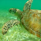 MCC Turtle Great Barrier Reef by Mossman  Community Centre