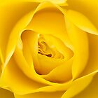 Yellow Rose by Chris Tarling