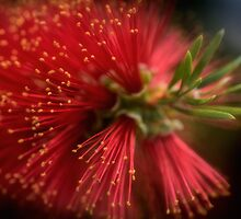 Bottlebrush by Dianne English