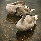 Cygnets by copacic