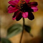 Fall Zinnia by Susan Littlefield