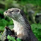 Male Otter by Russell Couch