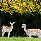Fallow Deer.. by Lauren Tucker