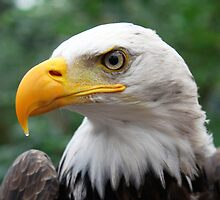 Portrait of A Bald Eagle by Jo Nijenhuis