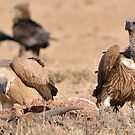 Vultures by jeff97