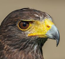 Harris Hawk Up Close by Mark Hughes