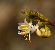 Winter Flowering Honeysuckle by Sue Robinson