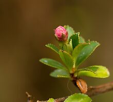 Escallonia Bud by Sue Robinson
