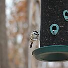 finch on a feeder by CAPhotography