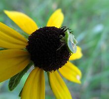 Aphid Resting on a Flower by CAPhotography