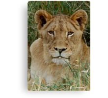 IF LOOKS COULD KILL - THE LION – Panthera leo Canvas Print