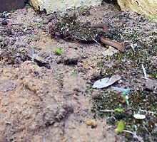 Legless Lizard Four 13 10 12 by Robert Phillips