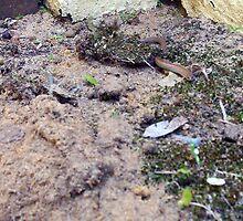 Legless Lizard Four 13 10 12 by Robert Phillips
