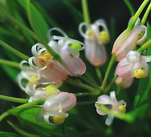 Grevillea Forest Rambler by andrachne