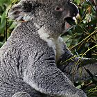 Koala At Lunchtime by Evita