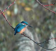 Common Kingfisher by Sue Robinson