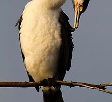Pied Cormorant by Robyn Carter