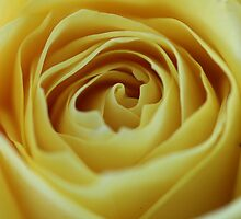Gold Bunny Floribunda Rose  by BBCsImagery