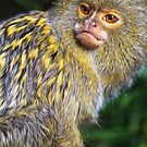 Pygmy Marmoset by Mossrocket
