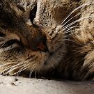 Cat close-up by Tataran Mihai - Razvan