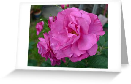 Wild Edric Roses by magicaltrails