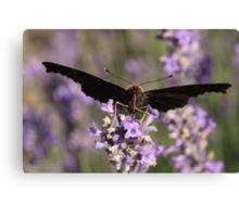 butterfly sucking nectar Canvas Print