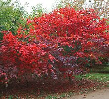 Japanese Acer at Sheffield Park by Keith Larby