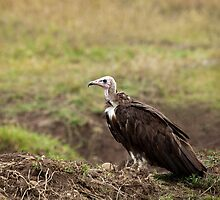 Hooded Vulture by Sue Robinson