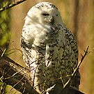 Snowy Owl by Martina Fagan