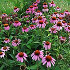 Coneflowers by CADavis