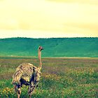 Big Bird Bright ( Ostrich Close-Up ) by emiliewho