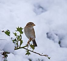 House Sparrow female in snow by Sue Robinson