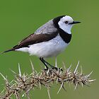 White Fronted Chat taken on Bruny Island. by Alwyn Simple