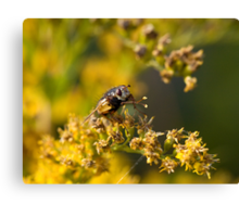 Hoverfly washing legs Canvas Print