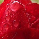 Rain Drop Red Rose by TesniJade