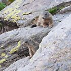 Marmots by barbox
