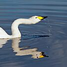 Whooper Swan by Margaret S Sweeny