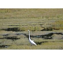 Great Egret Photographic Print