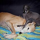 Galgo Aurora & Italian greyhound Kulta by homesick