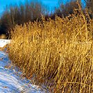 Golden Grass by Dlouise