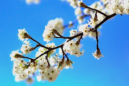 White Blossoms by Katherine Bowden
