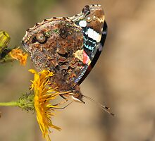 red admiral on yellow flower by Jicha