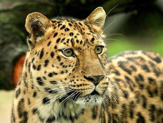 Amur Leopard (Panthera pardus orientalis) by Mark Hughes