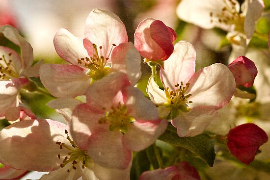 Vintage Blossoms by Megan Noble